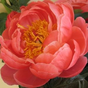 PEONIES-FLOWERS